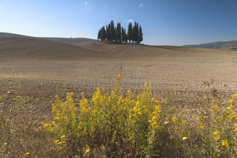 Famous cypress trees group in Tuscany royalty free stock images