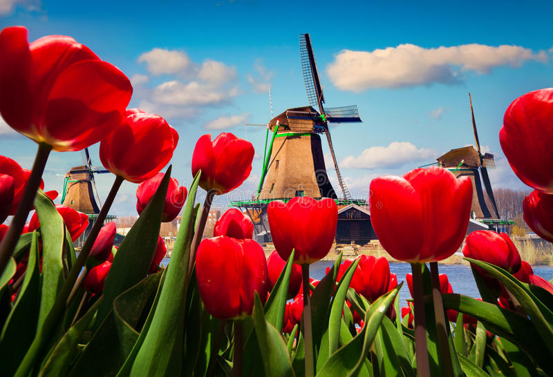 The famous Dutch windmills. Wiev through red tulips on the Netherlands canals. Creative collage stock image