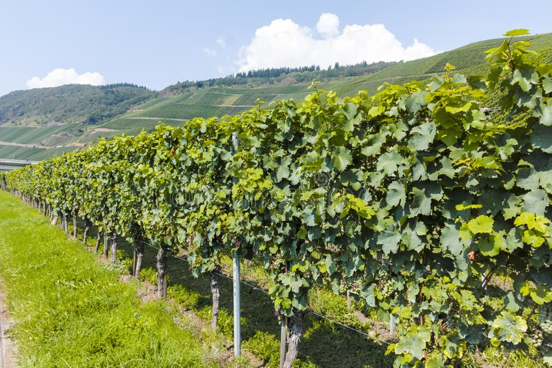 Famous green terraced vineyards in Mosel river valley, Germany, production of quality white and red wine, riesling. Landscape with famous green terraced stock image