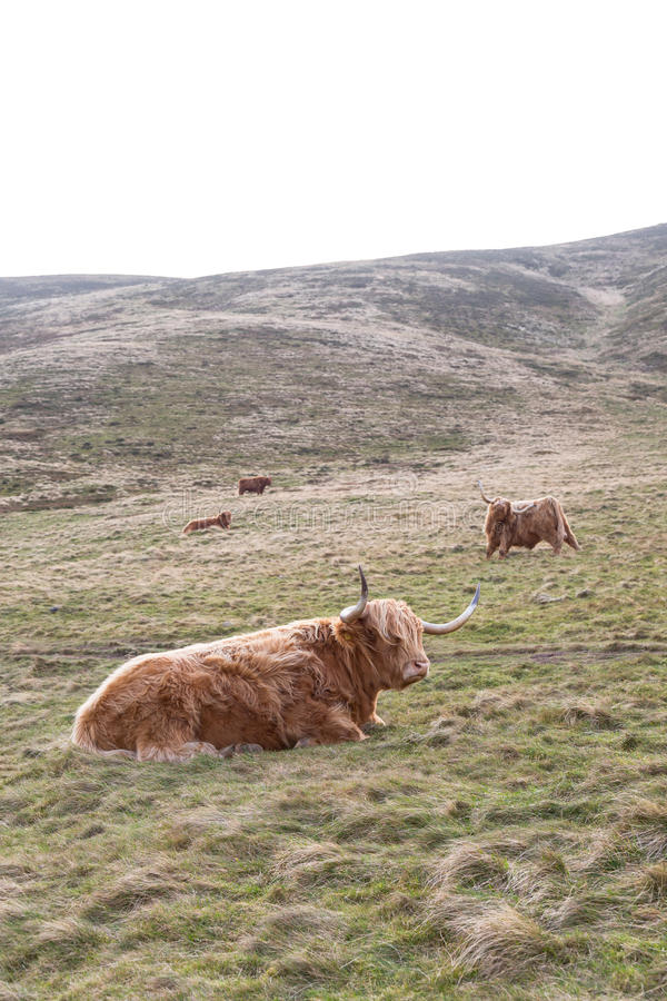 Famous hairy coo long hair cow in Scottish hills resting on mead. Ow in winter royalty free stock image