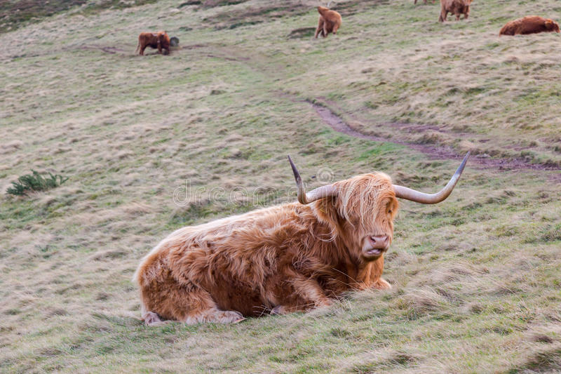 Famous hairy coo long hair cow in Scottish hills resting on mead. Ow in winter royalty free stock photos