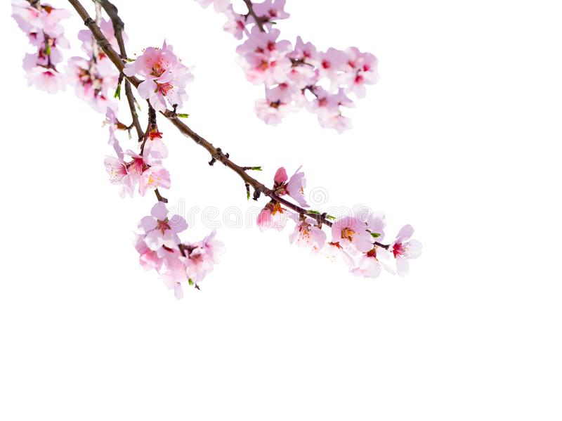 Japanese cherry blossom isolated in front of white background stock photos