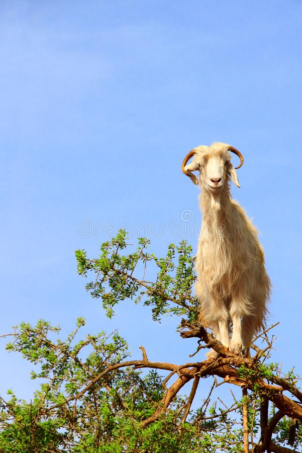 Goat on the argan tree, Morocco royalty free stock photo