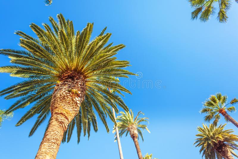 Palms of Beverly Hills. Famous palms of sunny Beverly Hills in Los Angeles agains blue sky from below royalty free stock photos