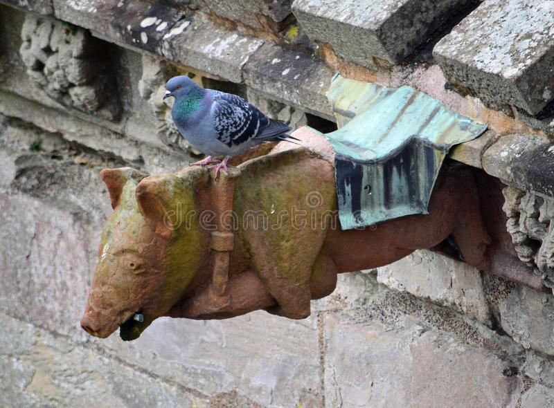 Famous pig playing the bagpipe gargoyle with a pigeon on top- The famous abbey ruins of the monastery at Melrose. Famous pig playing the bagpipe gargoyle with a royalty free stock images