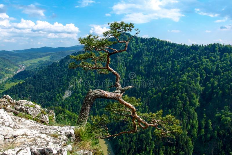 Famous pine on Sokolica peak and Dunajec river in southern Poland. Pine on Sokolica mountain. View on Pieniny and Gorce mountain range in beskids in Poland royalty free stock image