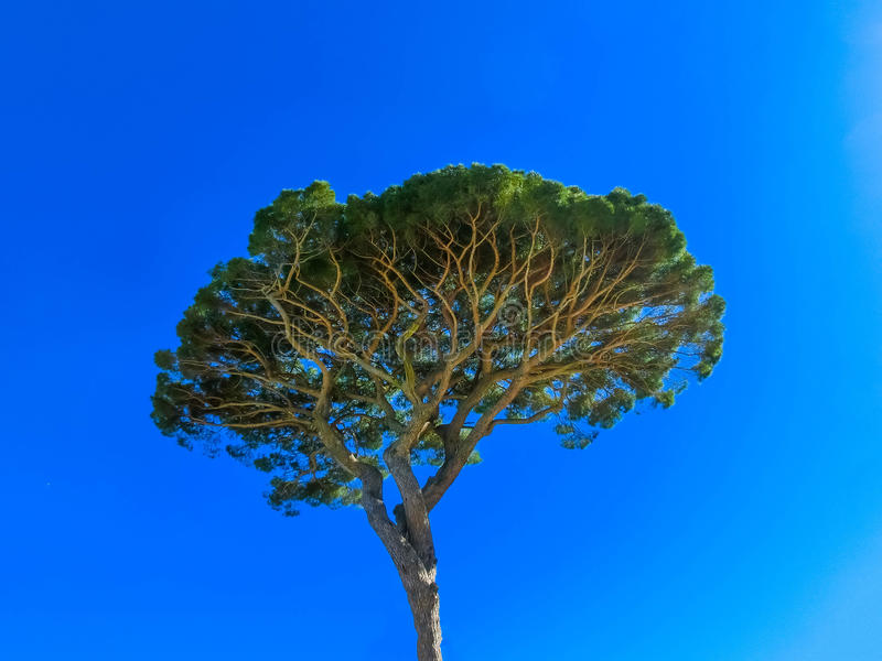 The famous pine tree at Italy stock image