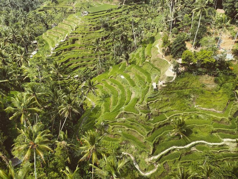 Tegallalang rice fields from above royalty free stock images