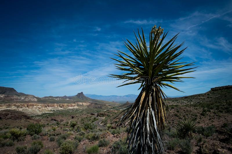 Famous view point on Route 66. Detail of a special cactus royalty free stock images