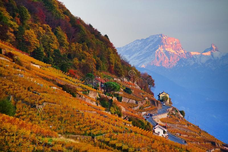 Autumn colors in a vineyard in Vaux, on the shores of Lake Leman. The famous vineyard terraces at Lake Geneva in autumn, Lavaux, Vaud, Switzerland royalty free stock photos