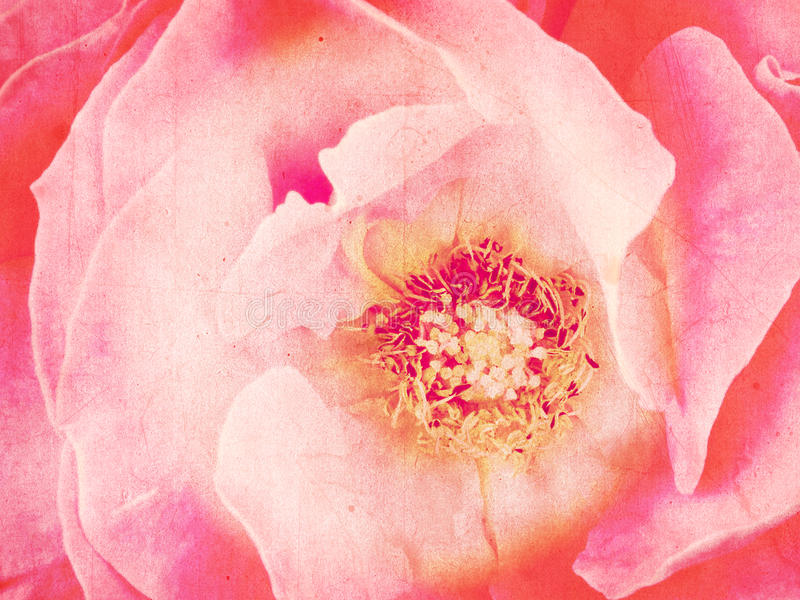 Fané, fond rose de grunge, rose images stock