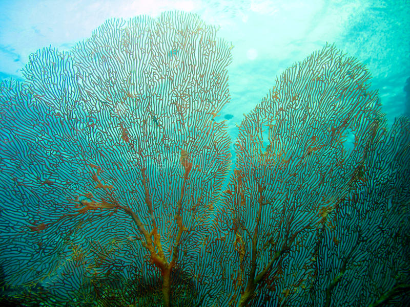 Fan Coral. Huge Fan Coral with blue background stock images
