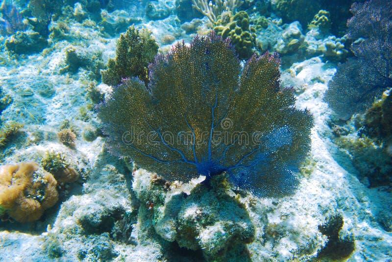 Download Fan Coral stock photo. Image of rico, culebra, snorkeling - 16444712