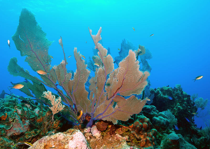 Download Fan coral stock image. Image of life, caribbean, water - 18140691