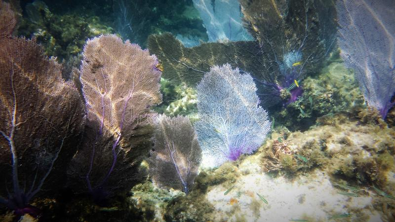 Fan Coral. Off the coast of Honduras royalty free stock photo