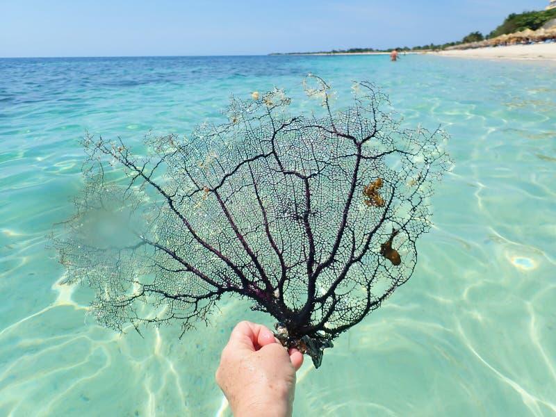 Fan de mer de corail noire sur la mer à la plage d'Ancon, Trinidad, Cuba images stock