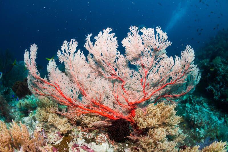 Fan de mer rose photographie stock libre de droits