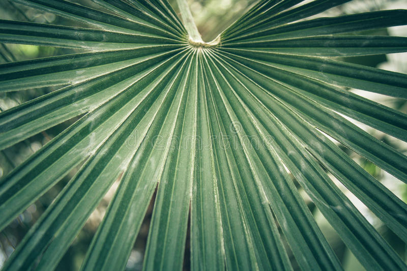 Fan leaf of a sabal palm, cabbage palmetto. Fan leaf of a sabal palm also known as cabbage palmetto. Close-up, selected focus royalty free stock photo