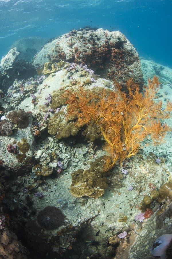 Fan nouée par jaune à l'île de Lipe photo libre de droits