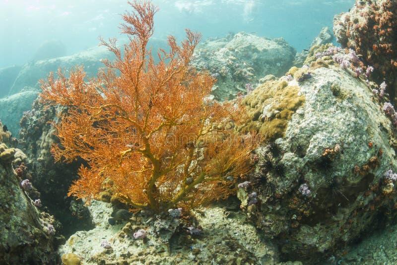 Fan nouée par jaune à l'île de Lipe photos libres de droits
