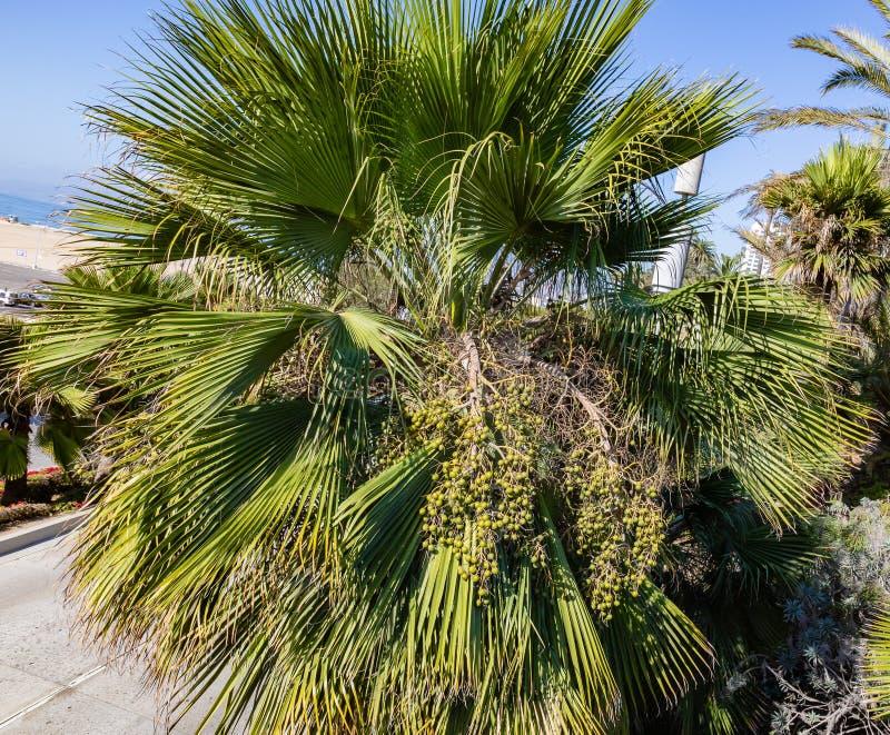 Fan Ornamentacyjna palma z owoc gromadzi się na ulicach Los Angeles fotografia stock