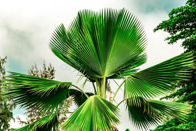 Fan Palm as seen at Premier hotel Ibadan Nigeria. Nigeria. A decorative palm often used in hotels and mansions stock image