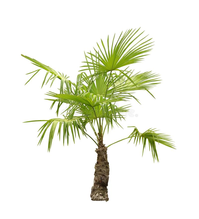 Palmetto palm tree. Isolated on white royalty free stock photography