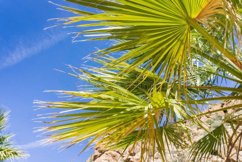 Fan Palm Tree Washingtonia filifera detail in the Lost Palms Oasis, a popular hiking spot, Joshua Tree National Park, California stock photography