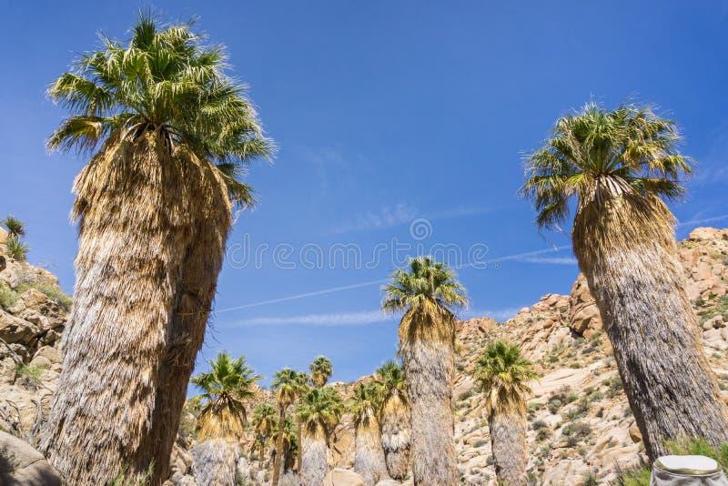 Fan Palm Trees Washingtonia filifera in the Lost Palms Oasis, a popular hiking spot, Joshua Tree National Park, California stock image