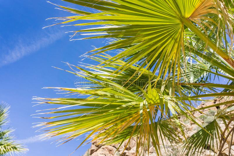 Fan-Palme Washingtonia-filifera Detail in der verlorenen Palmen-Oase, eine populäre wandernde Stelle, Joshua Tree National Park,  stockfotografie