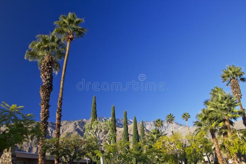 Fan Palms Trees Palm Springs California royalty free stock photo