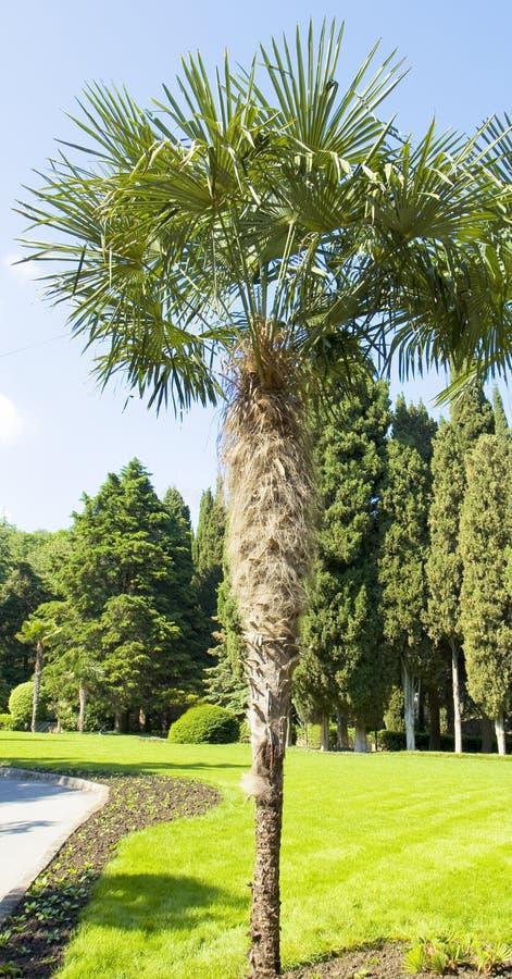 Fan-shaped Chinese palm stock photography