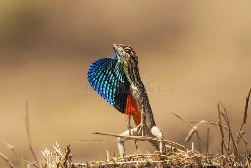 Fan-throated ödla, Sitana ponticeriana, Talegoan, Maharashtra, Indien royaltyfri fotografi