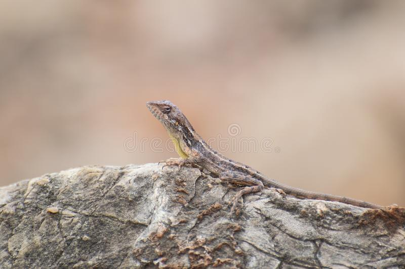 Fan-throated Lizard Reptile India. Fan-throated Lizard of sardana sub species posing of the rock in the forest of central india stock photos