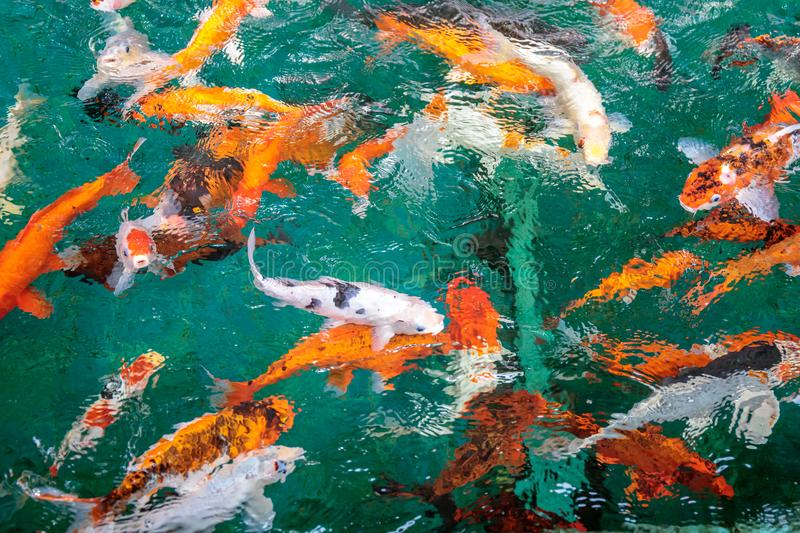 Fancy Carp or or Koi fish orange or gold color, swimming in the pond that water wave. royalty free stock photo
