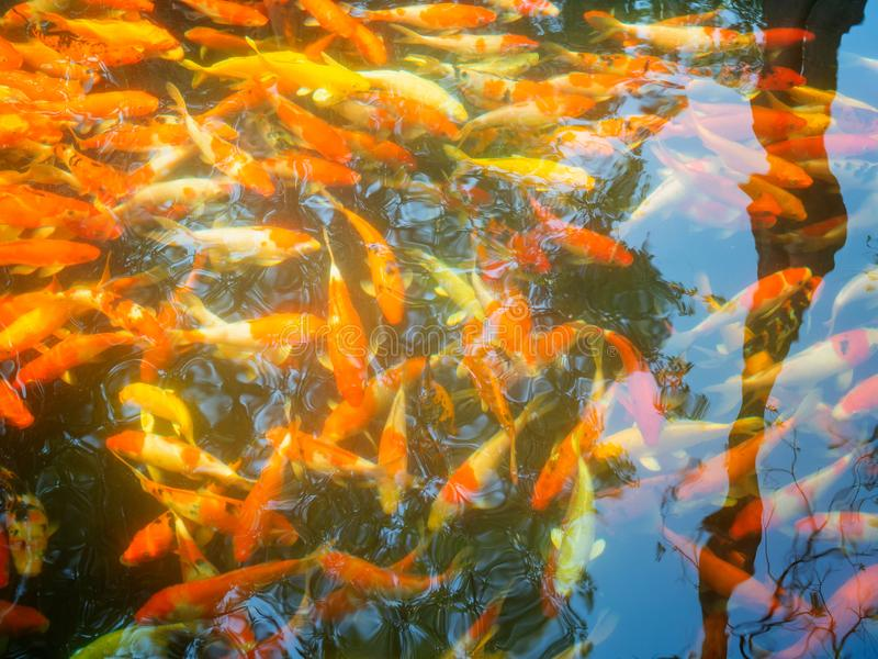 Fancy Carps Fish or Koi Swim royalty free stock images