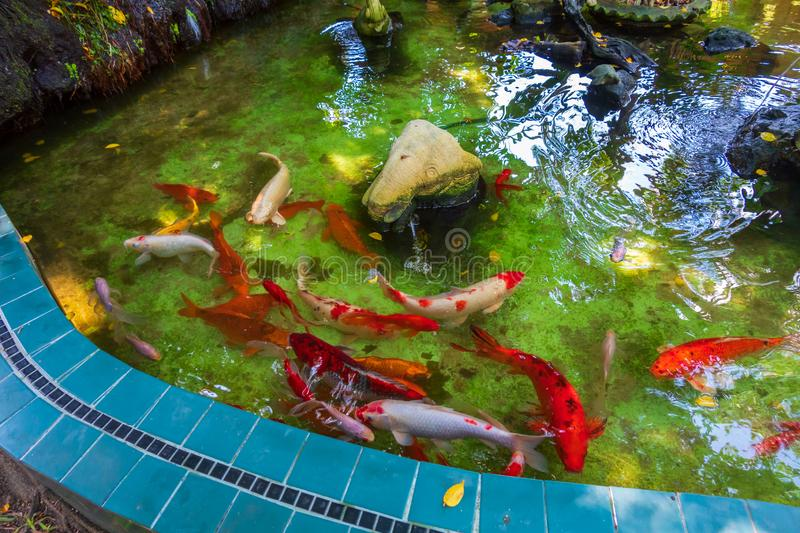 Fancy Carps Fish or Koi Swim in Pond, Movement of Swimming and Space royalty free stock photography