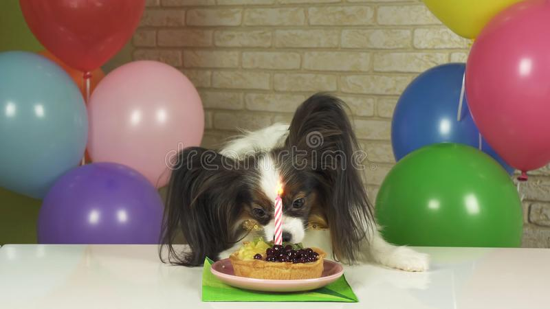 Fancy Dog Papillon eating birthday cake with candle. Fancy Dog Papillon eating birthday cake with a candle royalty free stock photography