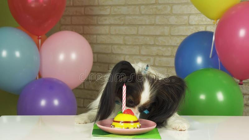Fancy Dog Papillon eating birthday cake with candle royalty free stock images