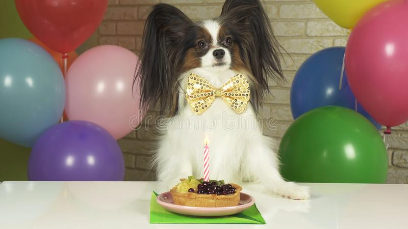 Fancy Dog Papillon eating birthday cake with candle. Fancy Dog Papillon eating birthday cake with a candle stock photo