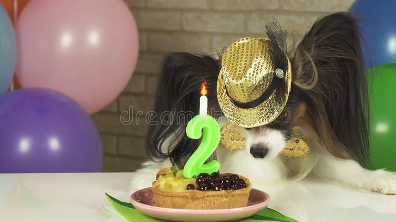 Fancy Dog Papillon eating birthday cake with candle. Fancy Dog Papillon eating birthday cake with a candle stock photography