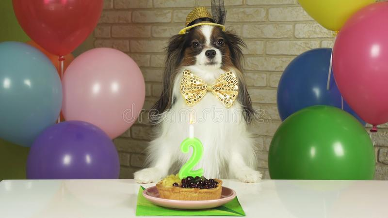 Fancy Dog Papillon eating birthday cake with candle. Fancy Dog Papillon eating birthday cake with a candle stock images