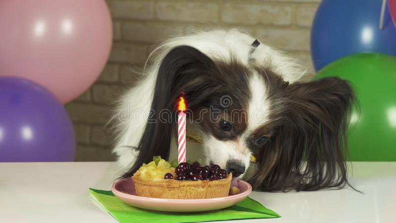 Fancy Dog Papillon eating birthday cake with candle. Fancy Dog Papillon eating birthday cake with a candle stock photos