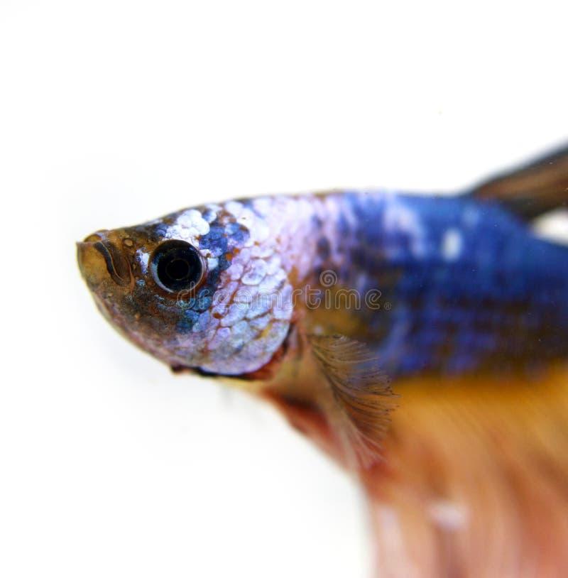 Fancy Dragon Betta Fish. Swimming royalty free stock photos