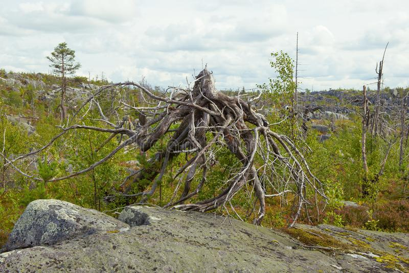 Fancy driftwood similar to an octopus on Mount Vottovaara. Karelia. Russia stock image