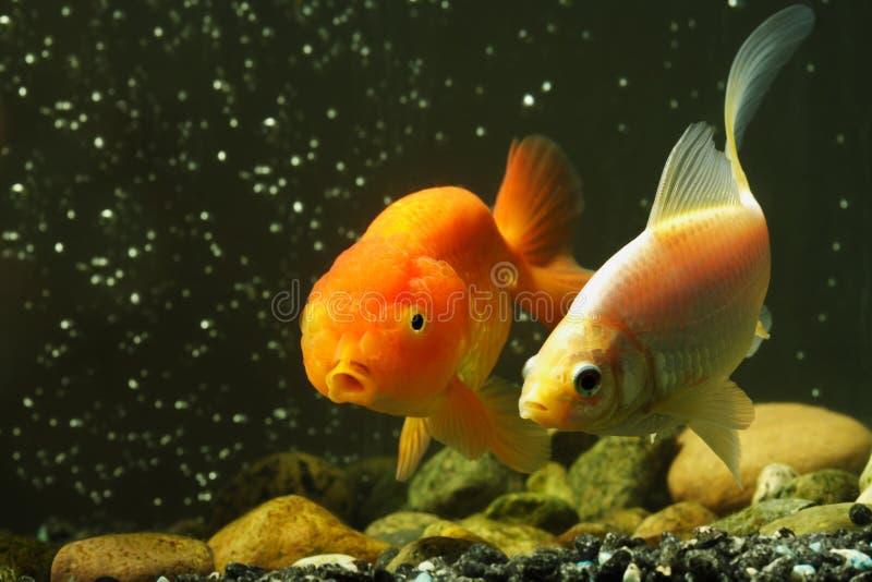 Fancy goldfish royalty free stock photo