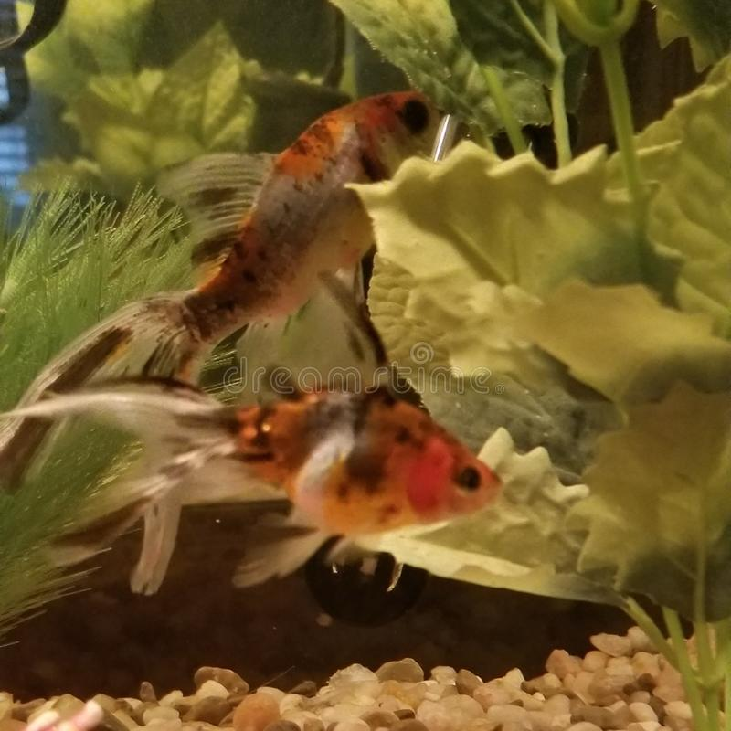 Fancy Goldfish Tank fotografie stock