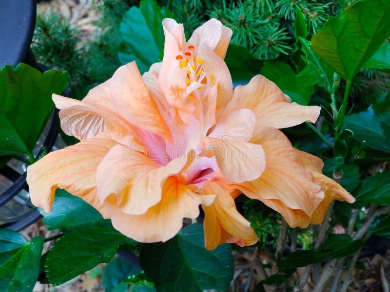 Fancy Hibiscus Flower - Peach - Orange - Pink stock image