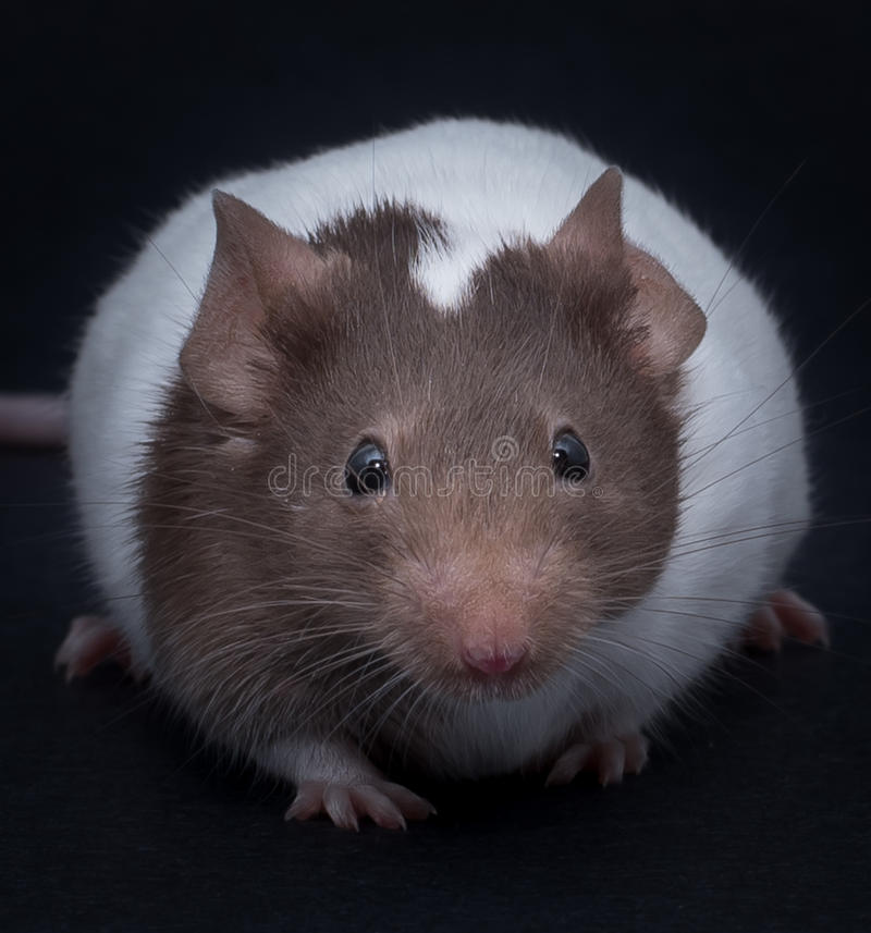Fancy Mouse. On black background stock images