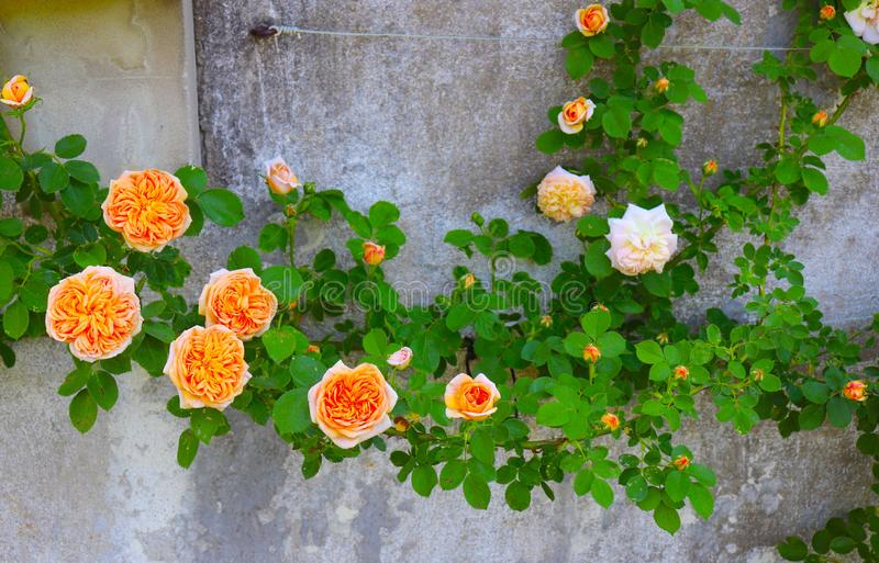 Stunning Fancy Orange Climbing Roses Attach to Historic Wall. Fancy orange roses with bright green leaves attach themselves to this grey historic wall of stone stock photography